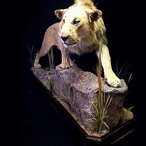 African - Lion - Taxidermy