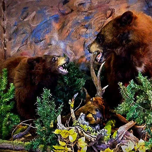 Grizzly - Brown - Bear - Taxidermy