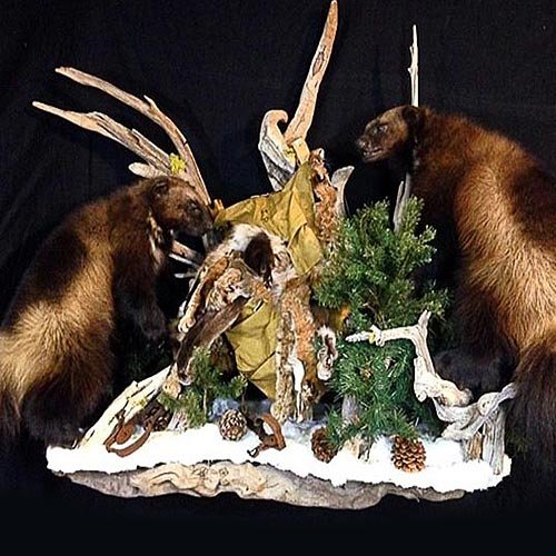 Americn - Wolverine - Taxidermy