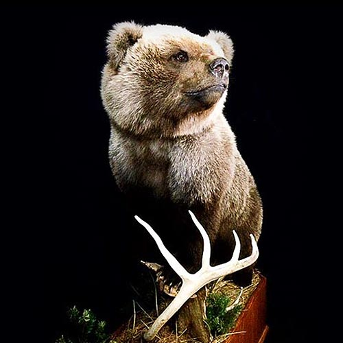 American- Bear - Taxidermy
