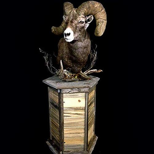 American - Big Horn - Taxidermy