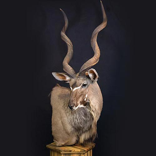 African - Kudo - Taxidermy