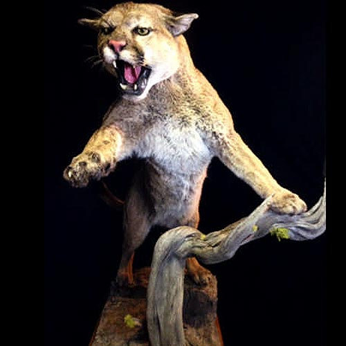 North American Lifesize Taxidermy Gallery